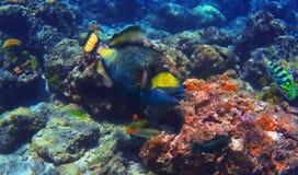 Korallrev med avtryckarefisken och en andra tropiska fiskar som snorklar i Amed Royaltyfri Bild