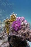 Korallrev med brand och hårda koraller Arkivfoto