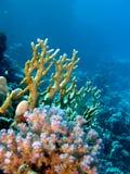 Korallrev med brand och hårda koraller på underkanten Royaltyfria Bilder