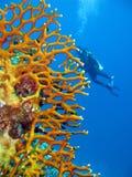 Korallrev med brandkorall Fotografering för Bildbyråer