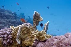 Korallrev med brandkorall och exotiska fiskar Anthi Royaltyfri Bild