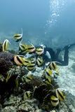 Korallrev med buterflyfishes och dykare i röd se Royaltyfri Fotografi