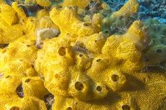 Korallrev med den stora Yellow Sea svampen i det tropiska havet som är undervattens- Arkivfoton