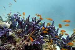 Korallrev med exotiska fiskanthias Arkivbilder