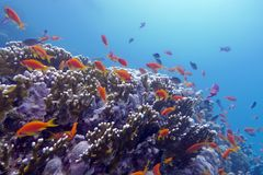 Korallrev med exotiska fiskanthias som är längst ner av det tropiska havet Arkivfoton