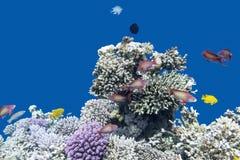 Korallrev med fiskar Anthias i det tropiska havet som är undervattens- Arkivfoton