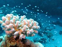 Korallrev med hård korall för härlig vit och exotiska fiskar som är längst ner av det tropiska havet Arkivfoto
