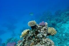 Korallrev med hårda koraller en exotisk fisk som är längst ner av det tropiska havet på bakgrund för blått vatten Royaltyfri Bild