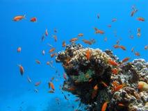 Korallrev med hårda koraller och exotisk fiskanth Royaltyfria Foton