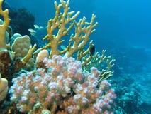 Korallrev med hårda koraller på bottnen av det röda havet Arkivfoton