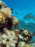 Korallrev med hårda koraller som är längst ner av det röda havet Arkivfoto