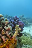 Korallrev med hårda och slappa koraller på underkanten Royaltyfri Foto