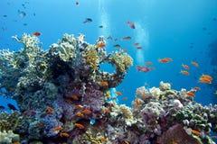 Korallrev med hårda koraller och exotiska fiskanthias som är längst ner av det tropiska havet på bakgrund för blått vatten Royaltyfri Foto