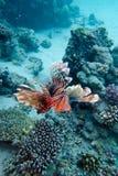 Korallrev med lionfishen ovanför bottnen av det tropiska havet Royaltyfri Bild