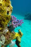 Korallrev med mjuka koraller på bottnen av det röda havet Royaltyfria Bilder