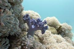Korallrev med mjuka koraller som är längst ner av det tropiska havet Arkivfoto