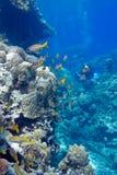 Korallrev med poriteskoraller och goatfishes som är längst ner av det tropiska havet Arkivfoto