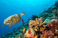 Korallrev med sköldpaddan Royaltyfria Foton