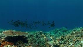 Korallrev med skolan av randiga Stor-öga braxen 4K lager videofilmer