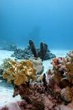 Korallrev med slapp hård koraller och havsspong Fotografering för Bildbyråer