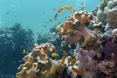Korallrev med slappa koraller och exotiska fiskar Anth Royaltyfri Bild