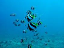 korallrev med stimet av butterflyfishes Arkivbild