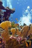 Korallrev med stor brandkorall och exoyic fiskar Arkivbild