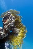 Korallrev med stor brandkorall på underkanten av Royaltyfri Foto
