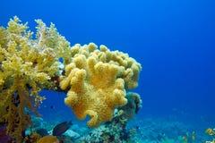Korallrev med stor mjuk korall på bottnen av det tropiska havet Arkivfoton