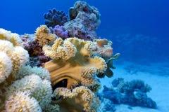 Korallrev med stor mjuk korall på bottnen av det tropiska havet Arkivbilder