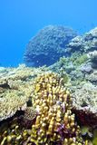 Korallrev med stora hårda koraller som är längst ner av det tropiska havet Royaltyfri Fotografi