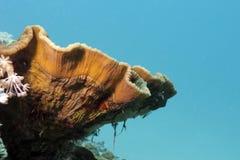 Korallrev med stora Turbinaria reniformis på Royaltyfria Bilder