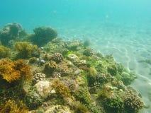 Korallrev och havsväxter på havsbotten Ungt korallbildande på sandseabottom Arkivbild