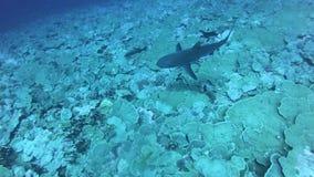 Korallrev och tropisk fisk i undervattens- värld Dyka och snorkla Naturliga enviromenvillkor Varmt hav och lager videofilmer