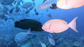 Korallrev och tropisk fisk i undervattens- v?rld Dyka och snorkla Naturliga enviromenvillkor Varmt hav och arkivfilmer