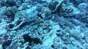 Korallrev och tropisk fisk i undervattens- v?rld Dyka och snorkla Naturliga enviromenvillkor Varmt hav och stock video