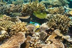 Korallrev på Maldiverna Royaltyfri Foto