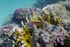 Korallrev på underkanten av det röda havet Royaltyfri Fotografi