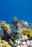 korallrev på underkanten av det röda havet Royaltyfri Foto
