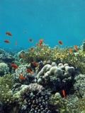 Korallrev på underkanten av det röda havet Fotografering för Bildbyråer