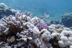 Korallrev på underkanten av det röda havet Arkivbilder