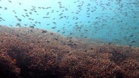 Korallrev som är vid liv med marin- liv och stimer av fisken lager videofilmer