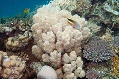 Korallreven är undervattens- i Röda havet royaltyfri bild