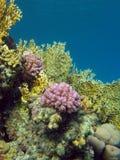 Korallreven med avfyrar och hårda koraller på bottoen av det tropiska havet Royaltyfria Bilder