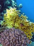 Korallreven med avfyrar och koraller på bottnen av det röda havet Royaltyfri Fotografi