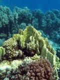 Korallreven med guling avfyrar korall på bottnen av det röda havet Royaltyfria Bilder