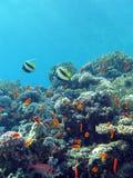 Korallreven med hårt och avfyrar korall och exotiska fiskar som är längst ner av det tropiska havet Royaltyfria Bilder