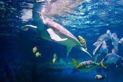 Korallreven med många fiskar och havssköldpaddan Royaltyfria Bilder