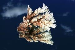 korallspegel Royaltyfria Foton