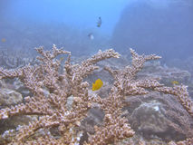 korallstaghorn arkivbild